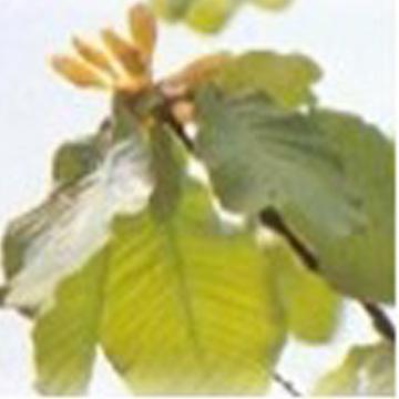 Magnolia Bark Extract